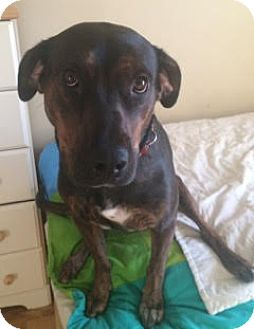 Labrador Retriever/Pit Bull Terrier Mix Dog for adoption in Vancouver, British Columbia - Avery