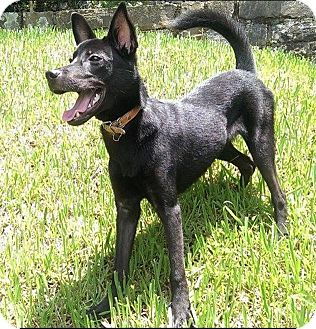 Shepherd (Unknown Type)/Whippet Mix Puppy for adoption in orange, California - Jacob