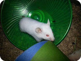 Hamster for adoption in Harleysville, Pennsylvania - Cotton
