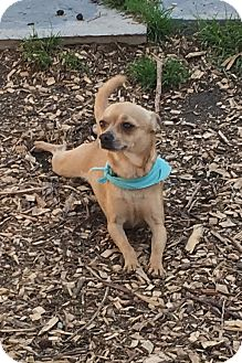 Chihuahua Dog for adoption in Va Beach, Virginia - Edgar