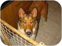 Collie Dog for adoption in New Carlisle, Indiana - Bridget