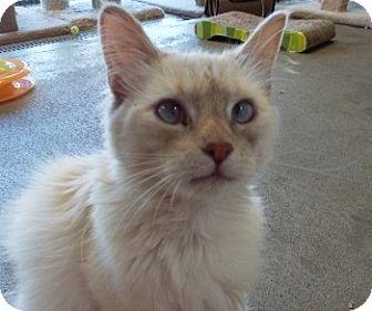 Siamese Cat for adoption in Grants Pass, Oregon - Muffin