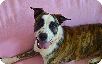 American Staffordshire Terrier Mix Dog for adoption in Charlotte, North Carolina - Remi