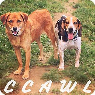 Labrador Retriever Mix Dog for adoption in Mechanicsburg, Ohio - Scooby