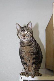 Domestic Shorthair Cat for adoption in New Bern, North Carolina - Samuel