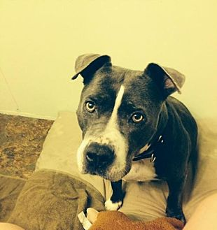 Pit Bull Terrier Mix Dog for adoption in Tucson, Arizona - Topaz