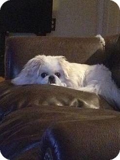 Pekingese Dog for adoption in Portland, Maine - Nala