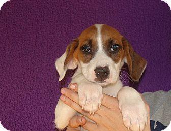 Beagle Mix Puppy for adoption in Oviedo, Florida - Wilson