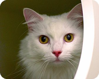 Domestic Longhair Cat for adoption in Troy, Michigan - King Richard
