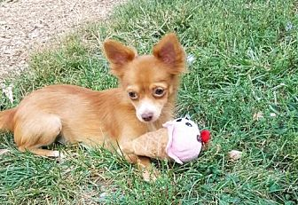 Chihuahua Dog for adoption in Elizabethtown, Pennsylvania - Sandy the long hair Chihuahua