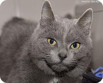 Domestic Shorthair Cat for adoption in Medina, Ohio - Emma