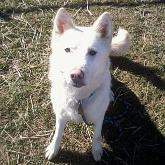 Siberian Husky Dog for adoption in Harvard, Illinois - Snow
