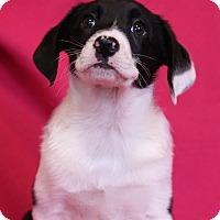 Adopt A Pet :: Trudy - Minneapolis, MN