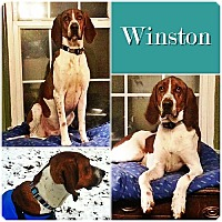 Adopt A Pet :: Winston ADOPTED - Ontario, ON