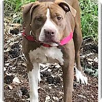 Adopt A Pet :: Ginger beauty - Sacramento, CA