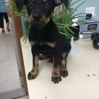 Adopt A Pet :: Bailey - Tulsa, OK