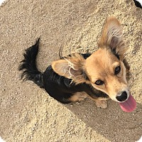 Adopt A Pet :: Ears - Rosamond, CA