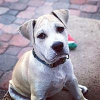 Adopt A Pet :: Scar - San Diego, CA