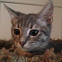 Adopt A Pet :: HAZELNUT - Clayton, NJ