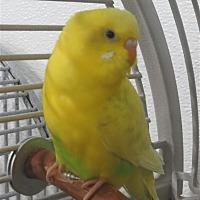Parakeet - Other for adoption in Elizabeth, Colorado - Abba