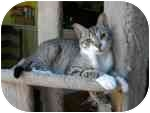 Domestic Shorthair Cat for adoption in Tampa, Florida - Lady Bug