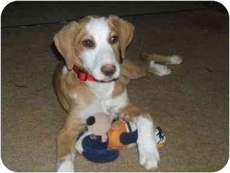 Beagle Mix Puppy for adoption in Plainfield, Connecticut - STAR