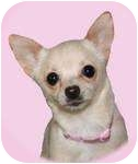 Chihuahua Dog for adoption in Mt Gretna, Pennsylvania - Smidgen