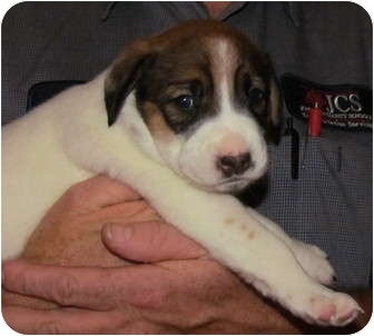 American Staffordshire Terrier Mix Puppy for adoption in Smithfield, North Carolina - Lucy