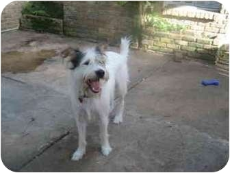 Terrier (Unknown Type, Medium) Mix Dog for adoption in Houston, Texas - Buster