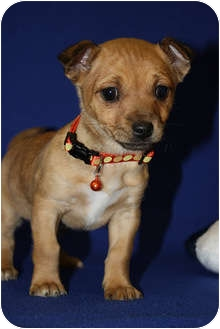 Chihuahua Mix Puppy for adoption in Broomfield, Colorado - Fox