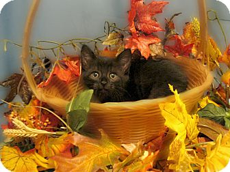 Domestic Shorthair Kitten for adoption in Richmond, Virginia - Cinders