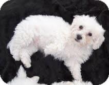 Bichon Frise Mix Puppy for adoption in Santa Monica, California - Cleo