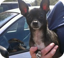 Chihuahua Dog for adoption in St. Petersburg, Florida - Pumpkin