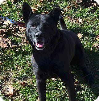 Labrador Retriever/Husky Mix Dog for adoption in Eighty Four, Pennsylvania - Spike