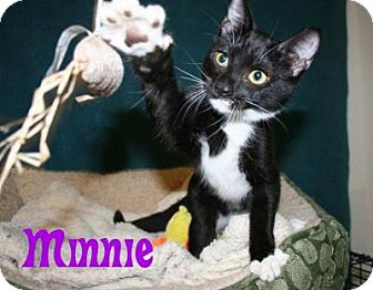 Domestic Shorthair Kitten for adoption in East Stroudsburg, Pennsylvania - Minnie