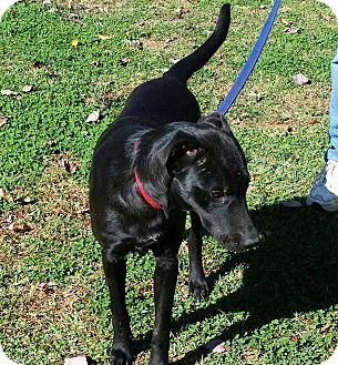 Labrador Retriever Mix Dog for adoption in Warwick, Rhode Island - Jake
