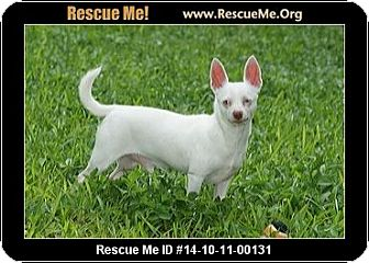 Chihuahua Dog for adoption in Fort Myers, Florida - Ghost