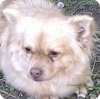 Spaniel (Unknown Type) Mix Dog for adoption in Las Vegas, Nevada - Mandy