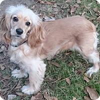 Adopt A Pet :: Fifi - Sugarland, TX