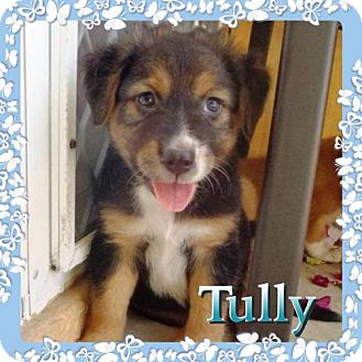 Labrador Retriever Mix Puppy for adoption in Kenmore, New York - Tully