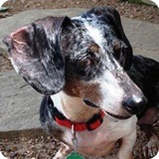 Dachshund Dog for adoption in Houston, Texas - Joy Jonquil
