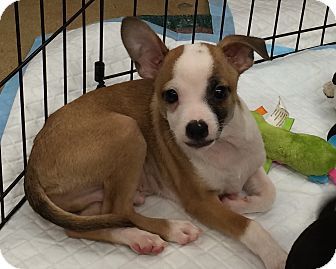 Chihuahua Mix Puppy for adoption in Schertz, Texas - Remi JH