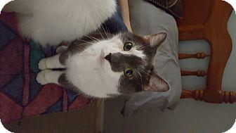 Domestic Shorthair Cat for adoption in Carlisle, Pennsylvania - FatBoyCP