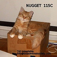 Domestic Longhair Cat for adoption in Spring, Texas - Nugget