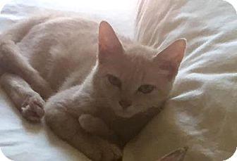 Domestic Shorthair Kitten for adoption in Bulverde, Texas - Sunkist