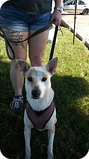 Jack Russell Terrier Mix Dog for adoption in Joshua, Texas - Sandy