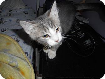 Domestic Shorthair Kitten for adoption in Northfield, Ohio - Morgan