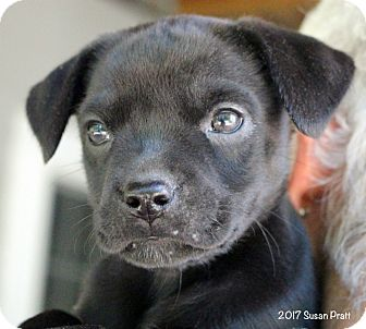 Boston Terrier/Beagle Mix Puppy for adoption in Bedford, Virginia - Freedom
