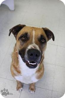 Boxer Mix Dog for adoption in Yukon, Oklahoma - Cadie