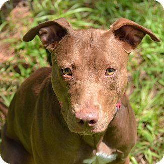Pit Bull Terrier/Labrador Retriever Mix Dog for adoption in Brooksville, Florida - 10309470 ANNIE/VALENTINE